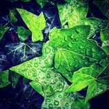 Wet Ivy leafs royalty free stock photography