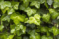 Wet Ivy leaves Stock Image