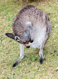 Wet kangaroo Royalty Free Stock Images