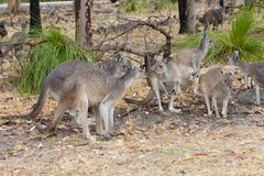 Kangaroos with wet fur standing in rain, West Australia Royalty Free Stock Photos