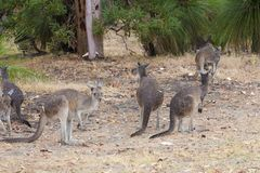 Kangaroos with wet fur standing in rain, West Australia Stock Photo