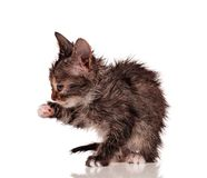 Wet kitten Royalty Free Stock Photos