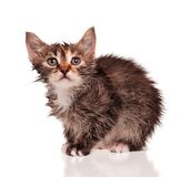 Wet kitten Royalty Free Stock Image