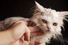 Wet kitten Stock Photography
