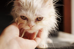 Wet kitten Stock Images