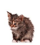 Wet kitten Royalty Free Stock Photography