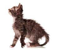 Wet kitten Stock Image