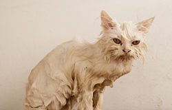 Wet kitten Royalty Free Stock Photo