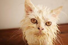 Wet kitten Royalty Free Stock Photos