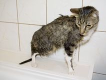 Wet Kitty Stock Photography