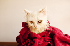 Wet kitty Royalty Free Stock Image