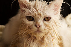 Wet kitty Royalty Free Stock Photography