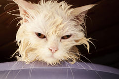 Wet kitty Royalty Free Stock Photos