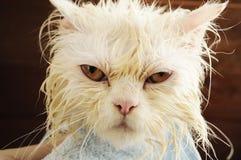 Wet kitty. Wet Persian kitten having a bath Royalty Free Stock Photo