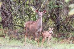 Wet kudu cow and calf in the rain Stock Photo