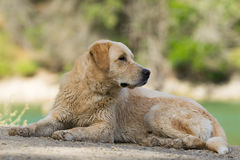 Wet Labrador dog portrait at Lake Beletsi in Greece. Stock Images