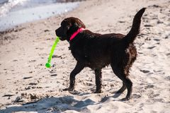 Wet Labrador retriever on beach by water with green toy in her m stock photography