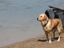 Wet labrador retriever dog Royalty Free Stock Photography