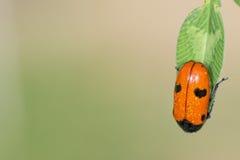 Wet Ladybug macro on brown background Stock Photography