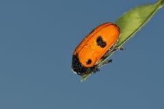 Wet Ladybug macro on sky background Royalty Free Stock Image