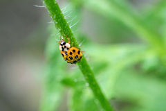 Wet Ladybug on poppy steam Royalty Free Stock Images