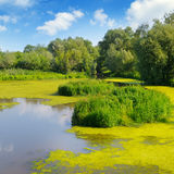Wet lake with aquatic vegetation. Royalty Free Stock Photo