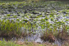 Wet Lands and Water Lillies Stock Photography