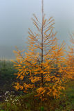 Wet larch Royalty Free Stock Photography