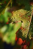Wet leaf. A closeup view of a wet tree leaf with beginning signs of fall colors Royalty Free Stock Photos