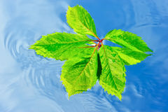Wet Leaf. Green leaf on the surface of pure water Royalty Free Stock Photo