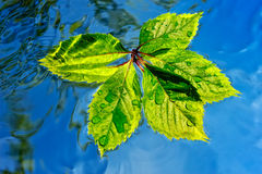 Wet Leaf. Green leaf float in stream water pure Stock Photography