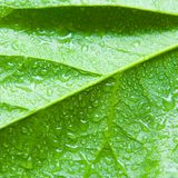 Wet Leaf. Green leaf with water drops Royalty Free Stock Images
