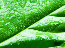 Wet Leaf. Green leaf with water drops - high contrast Royalty Free Stock Photo