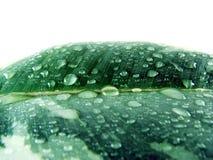 Free Wet Leaf Royalty Free Stock Image - 3321396