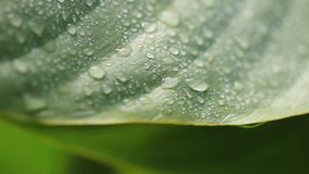 Wet leaf background. Macro of a wet tropical leaf stock footage