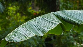 Banana tree after rain. Wet leaf of banana tree after rain stock video footage