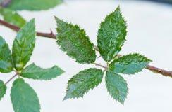 Wet leaf of bramble Royalty Free Stock Image