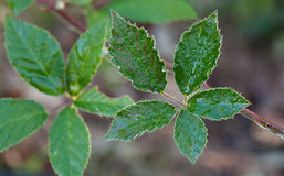 Wet leaf of bramble Stock Photography