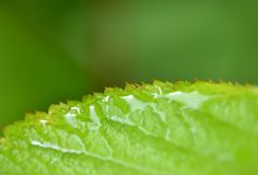 A Wet Leaf Edge. Macro image of a wet leaf edge with copy space Royalty Free Stock Image