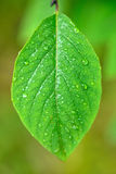Wet  leaf Stock Photo