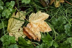 Wet Leaf in the green grass. Wet brown yellow leaf in the green grass Stock Images