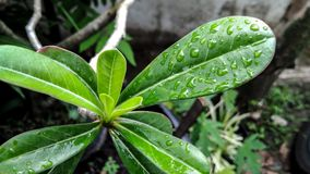 Wet leaf and the leaves are cold. Leaves wet after rain. The wet leaves after the rain give us a cold feeling Stock Photos