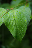Wet Leaf Macro Royalty Free Stock Photography