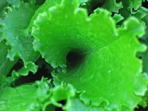 Wet leaf of salad Stock Photo