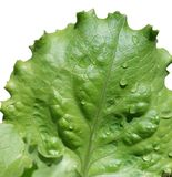 Wet leaf of salad Stock Photos