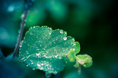 Wet leaf with several raindrops Stock Image