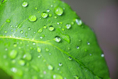 Wet leaf. Water drops macro view on the green leaf Royalty Free Stock Images