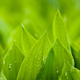 Wet Leafs Of Lilies Stock Image