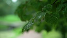 Wet leafs of tree after rain stock footage