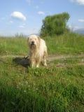 Wet leashed romanian mioritic shepherd dog on field Stock Photo